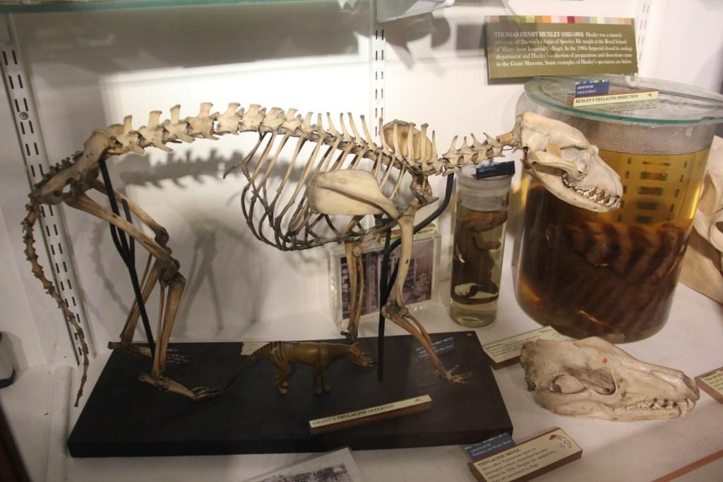 skeleton of cat