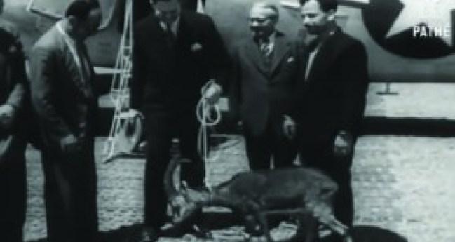 Ο αίγαγρος κατά την άφιξή του στο αεροδρόμιο το 1950