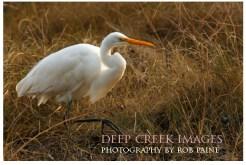 rob-paine-white-egret-chincoteague