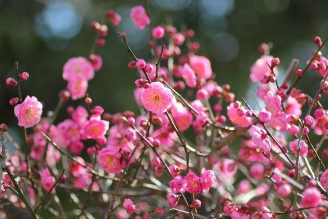 令和(れいわ)の起源ゆかりの梅