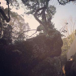 樹齢800年楠の木