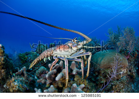 stock-photo-the-caribbean-spiny-lobster