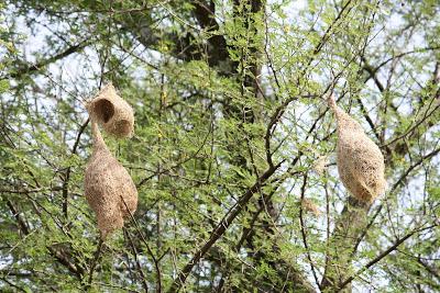 Weaver birds found near Bengaluru