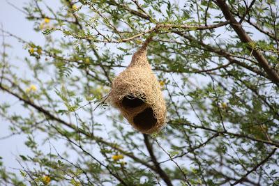 Weaver birds found nests