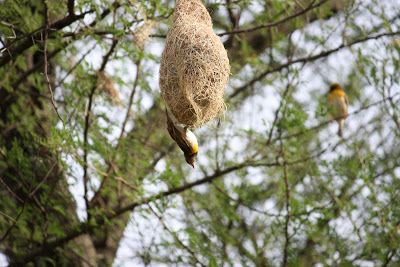 Weaver birds found ib Bangalore