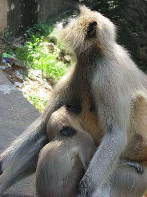 Mysore zoo langur