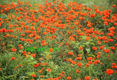 Marigold Fields Karnataka