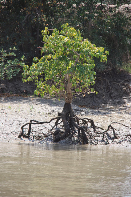 Sunderbans Tree in low tide