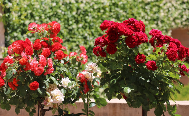 Alhambra Gardens red roses 2