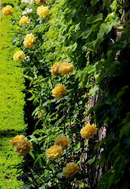 Alhambra Gardens yellow roses 2