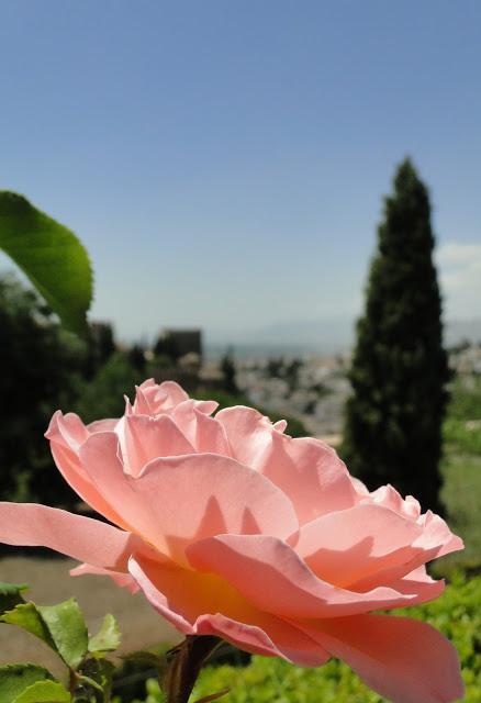 Alhambra Gardens pink rose