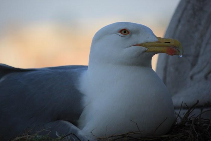 seagull wordless