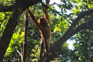 orangutan responsible tourism