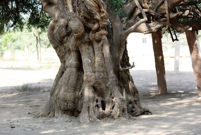Khejri tree at Khejarli village