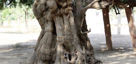 Khejri tree at Khejarli village