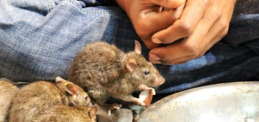 Karni Mata Temple fearless rats