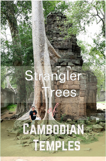 Strangler Trees at Cambodian Temples