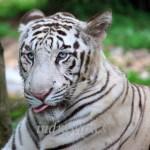 tiger-wordless