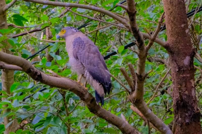 カンムリワシ沖縄県石垣島野鳥