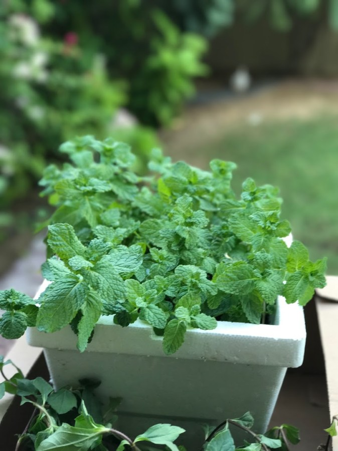 Fresh coriander in the garden