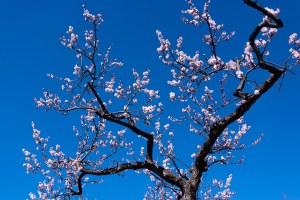 北海道神宮の梅 (見ごろは5月ごろ)