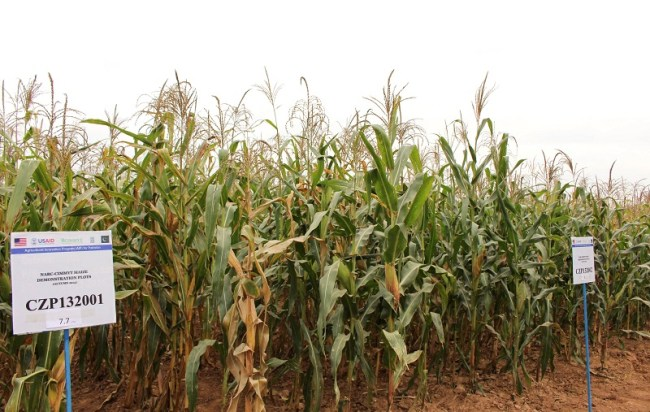 New, high-yield maize varieties at NARC in Islamabad