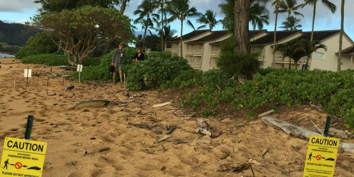 Monk Seal at Islander on the Beach Kauai