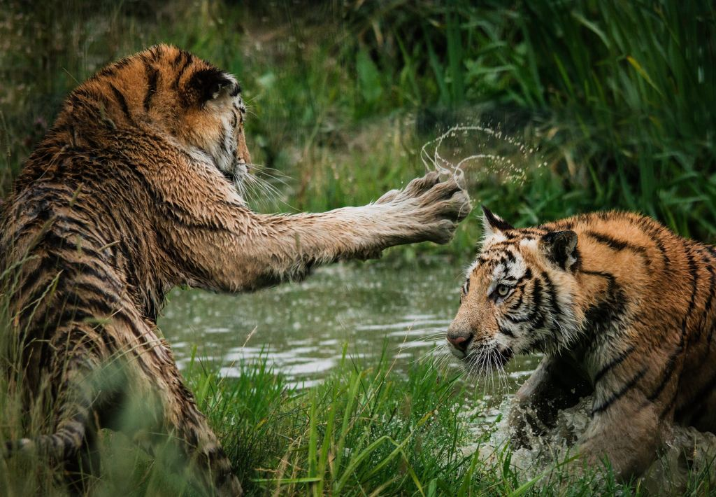 Photo: Two tigers in a swamp