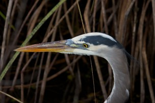 great blue heron 004