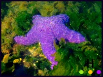 star fish under water