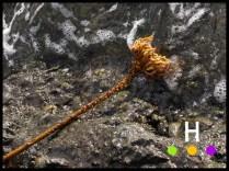 kelp root