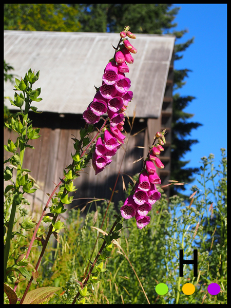 foxglove on razor point road, pender island