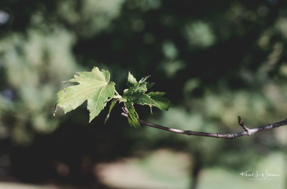Summer, Leaf, Oak