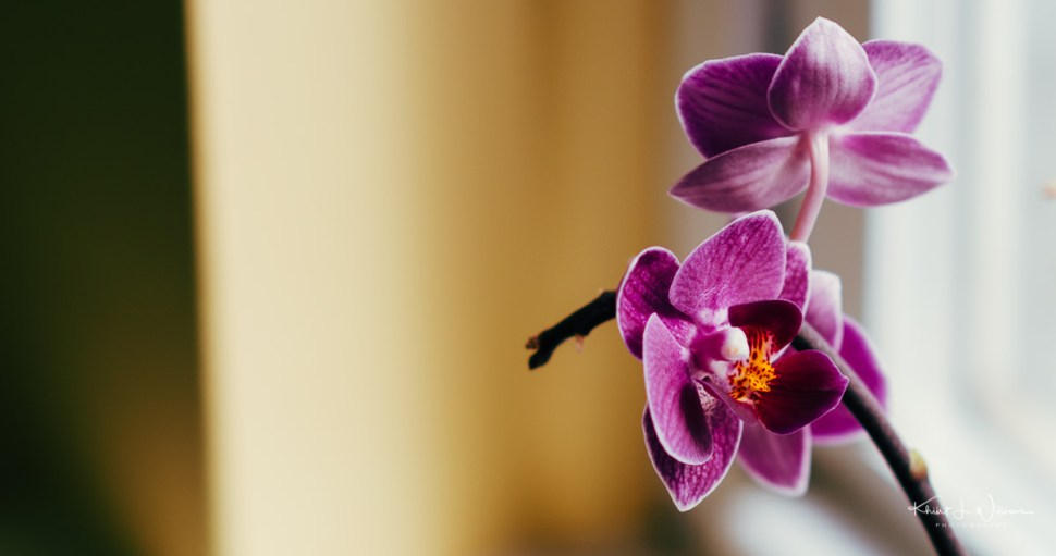 bloom, orchid, flower