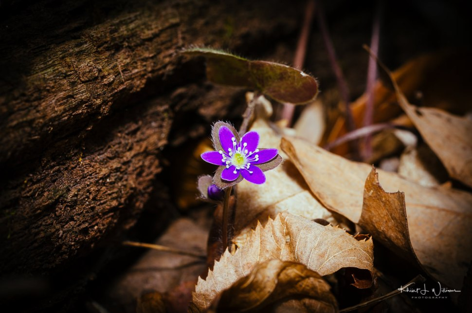 Round-lobed Hepatica, spring, flower, purple, sourland mountain