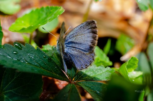 Spring Azure Butterfly, Sourland Mountain Range