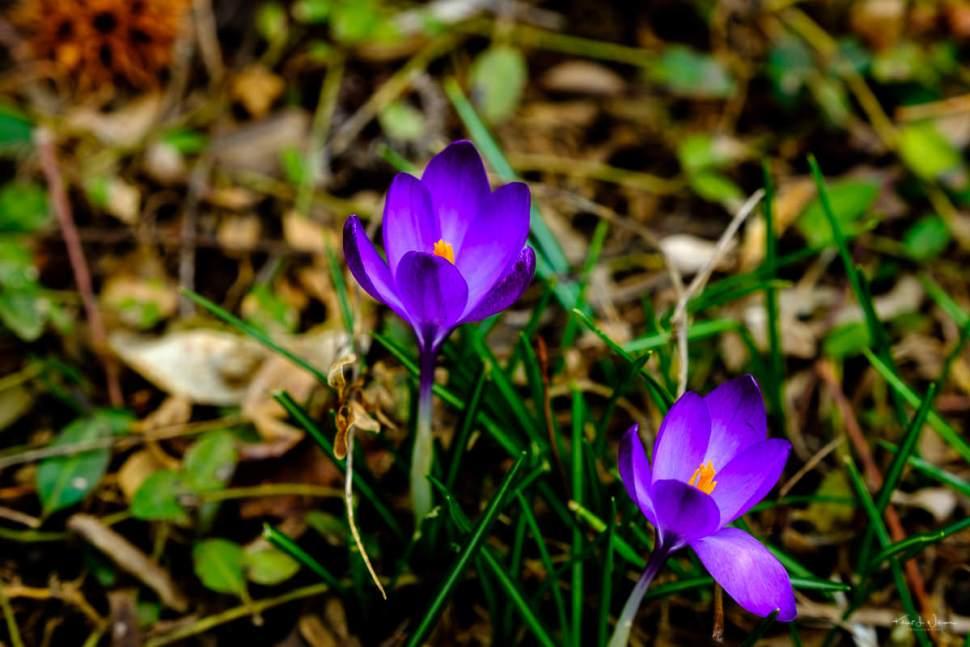 Crocus, Spring, Flowerd, Purple