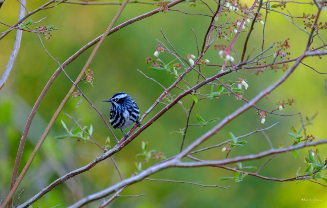 Black and White Warbler —FujiFilm X-T2 + XF100-400mmF4.5-5.6 R LM OIS WR @ (261.2 mm, f/5.0, ISO2000)