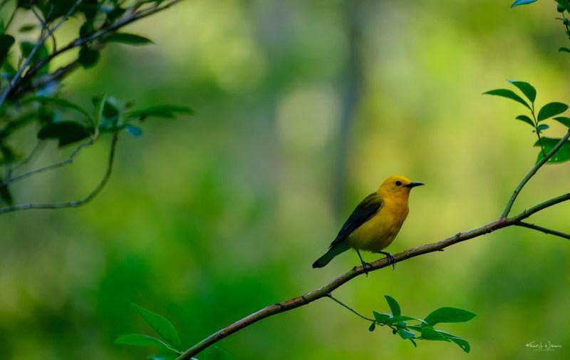 Prothonatary Warbler, Warbler, Bird, Yellow