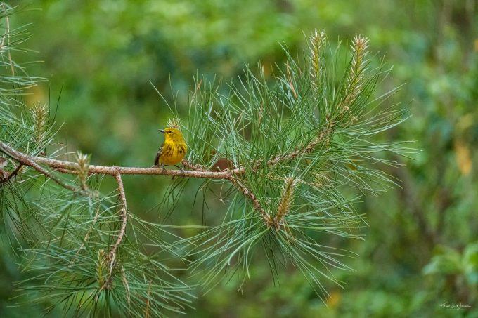 birds, pinelands, Warblers, Wood Warblers, Pine Warbler, Woodbine, New Jersey