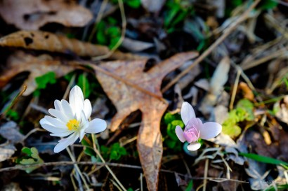 Bloodroot (Sanguinaria canadensis) | 26 March, 2020 | FujiFilm X-T2 | Fujinon XF16-55mmF2.8 R LM WR | f/4.0 | ISO 640