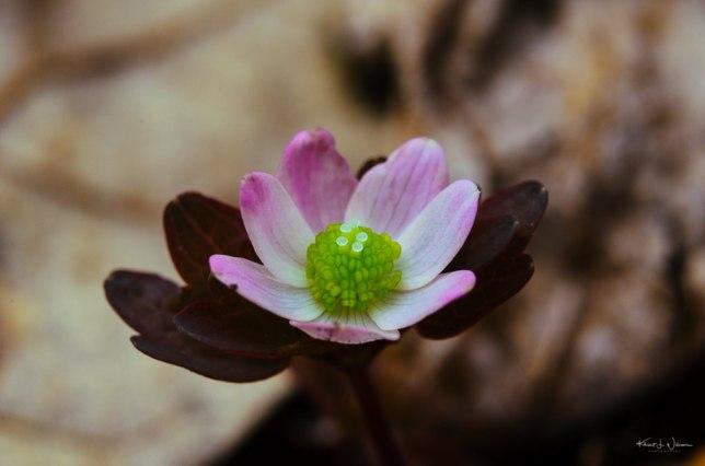 Hepatica nobilis var. obtusa   14 April, 2017   Nikon D5100   Fujinon 18-55 mm f/3.5-5.6