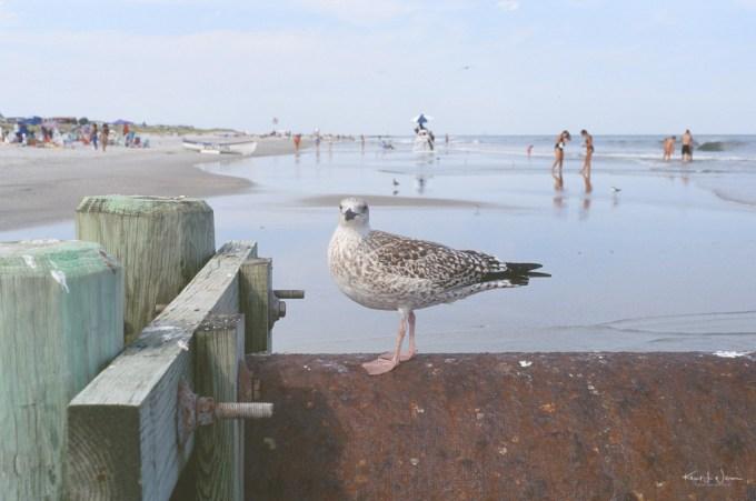 Seagul sitting on pipe on Avalon Beach