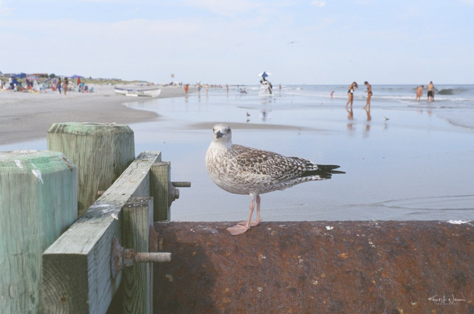 Seagul sitting on pipe on Avalon Beach