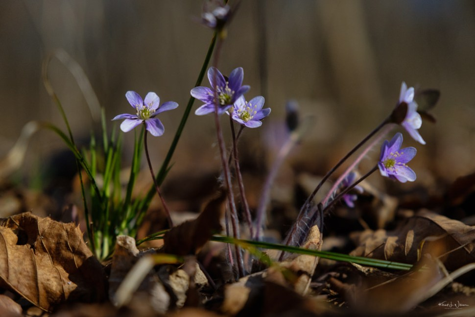 Hepatica nobilis flowers