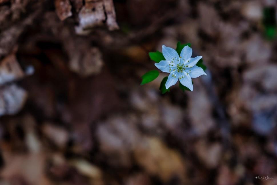 Anemonella thalictroides (Rue anemone)