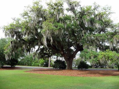 Airlie Gardens Live Oak