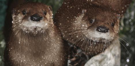 NC Aquariums River Otters