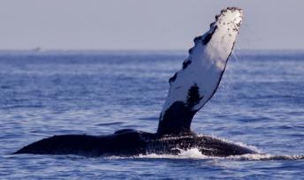 Humpback Whale Pectorial Fin