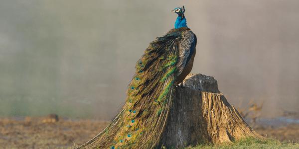 Canon India - Kabini Peacock